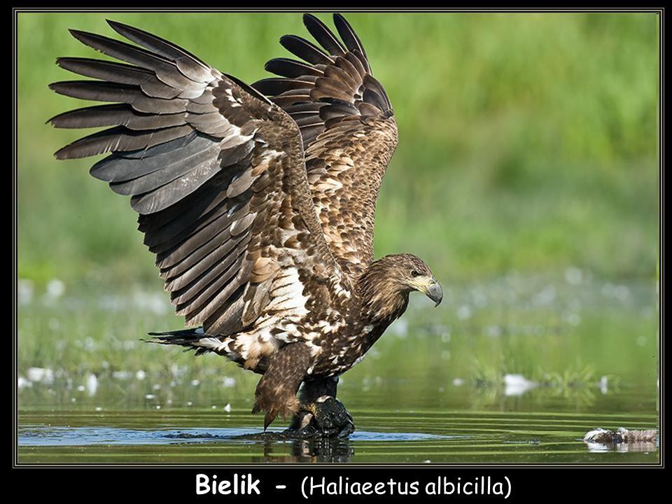 Bielik - (Haliaeetus albicilla)