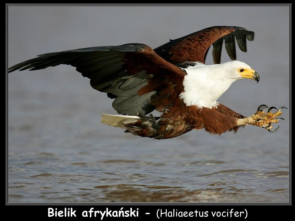 Bielik afrykański - (Haliaeetus vocifer)