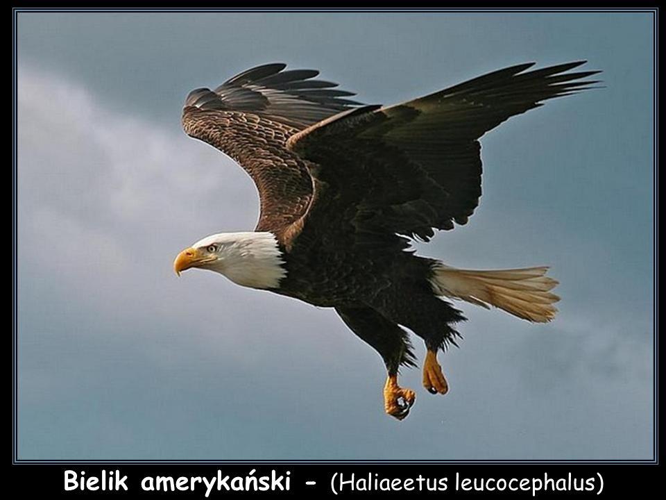 Bielik amerykański - (Haliaeetus leucocephalus)
