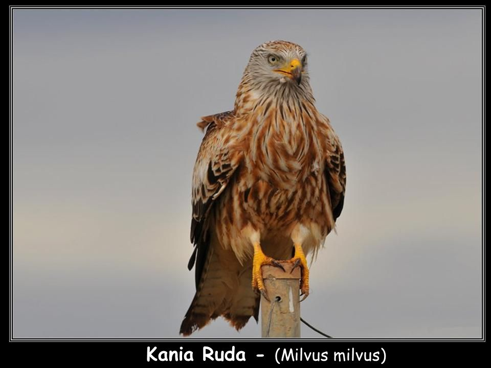 Kania Ruda - (Milvus milvus)
