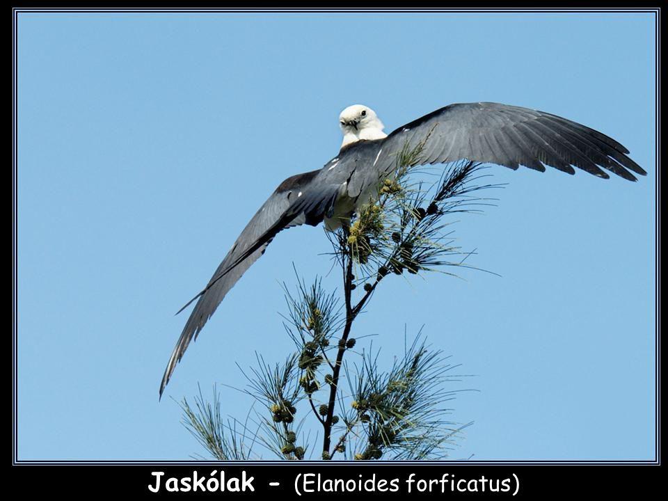 Jaskólak - (Elanoides forficatus)