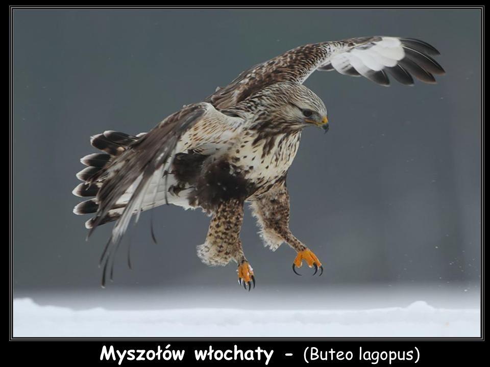 Myszołów włochaty - (Buteo lagopus)