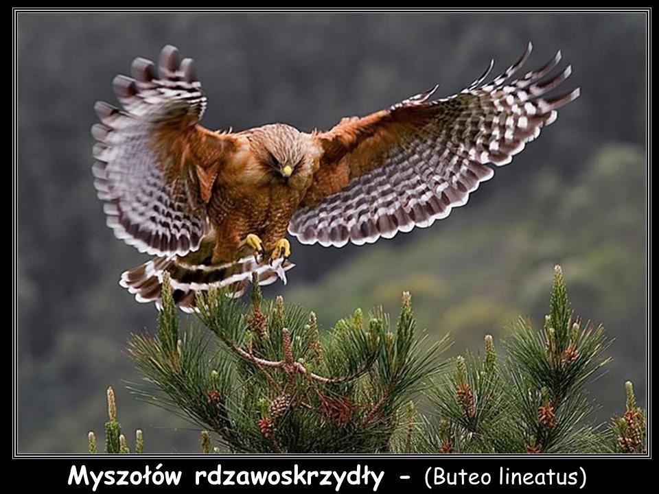 Myszołów rdzawoskrzydły - (Buteo lineatus)