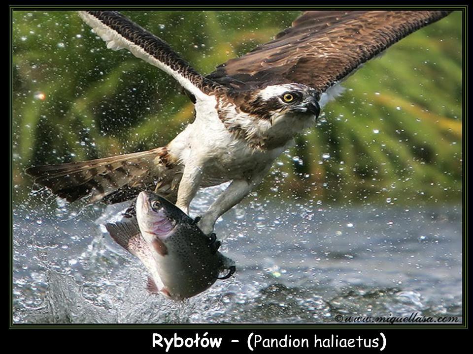 Rybołów – (Pandion haliaetus)
