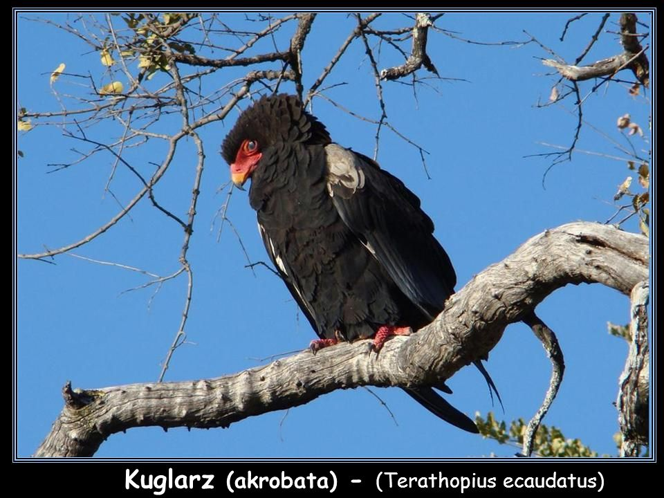 Kuglarz (akrobata) - (Terathopius ecaudatus)