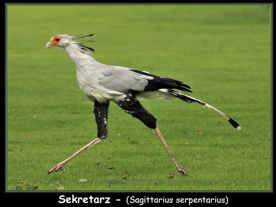 Sekretarz - (Sagittarius serpentarius)