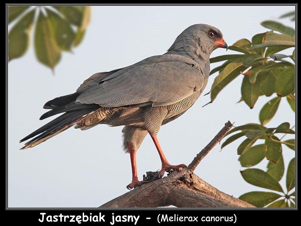 Jastrzębiak jasny - (Melierax canorus)