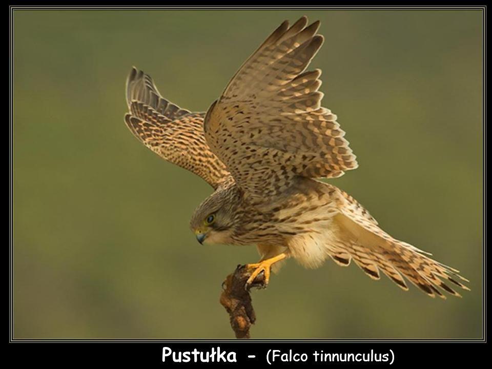 Pustułka - (Falco tinnunculus)