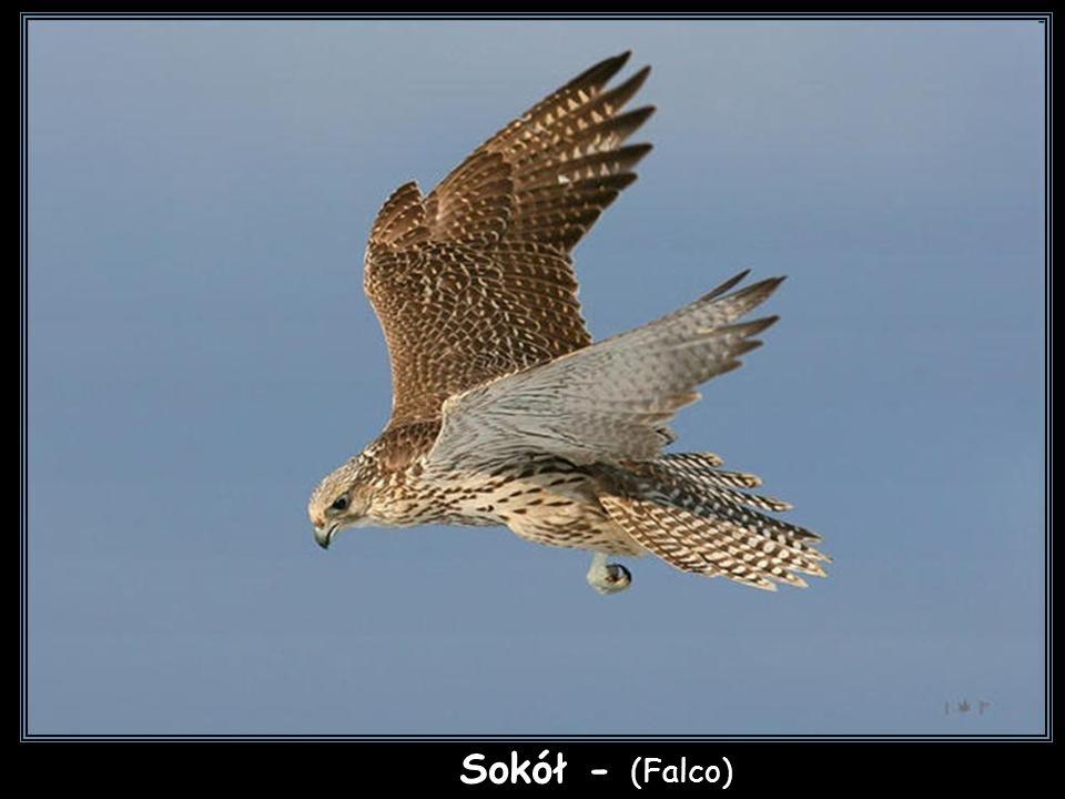sokół Sokół - (Falco)