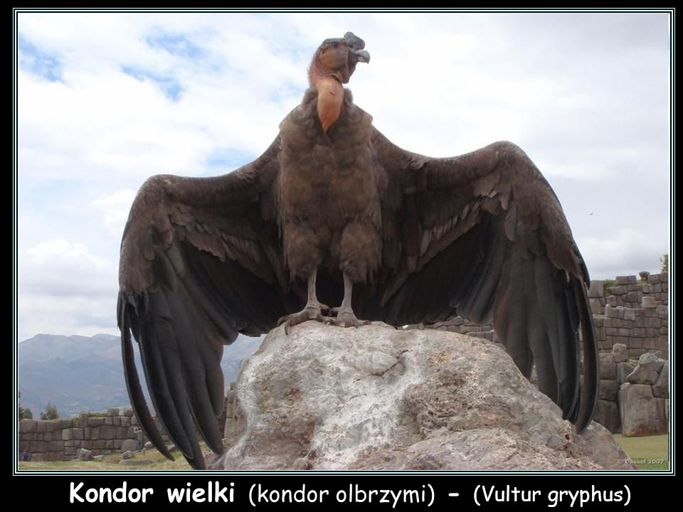 Kondor wielki (kondor olbrzymi) - (Vultur gryphus) Kondor wielki