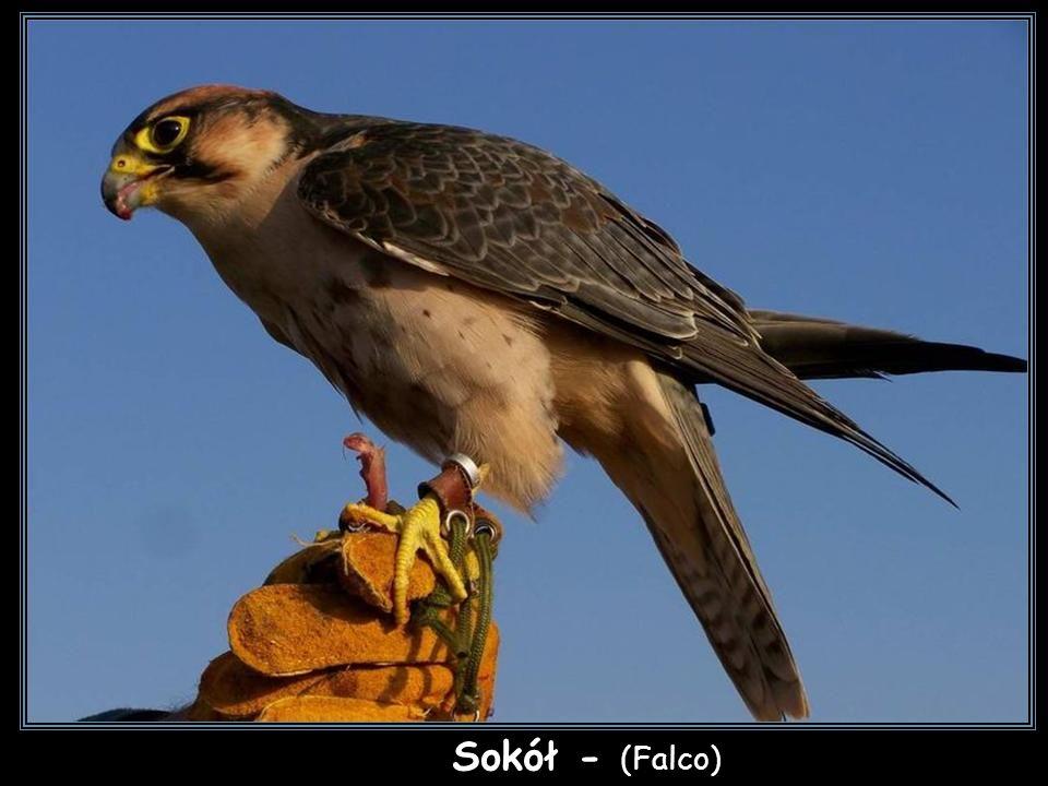 Sokół - (Falco)