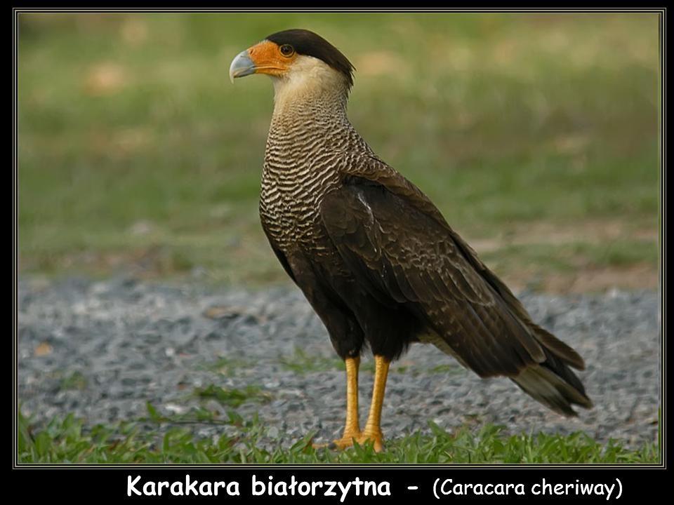 Karakara białorzytna - (Caracara cheriway)