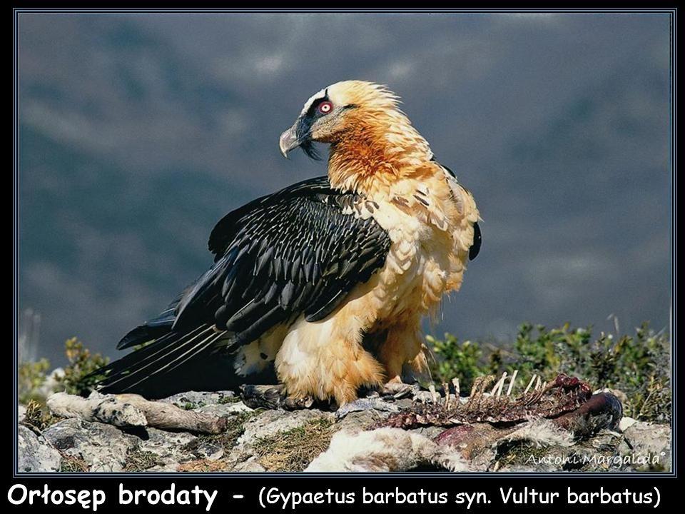 Orłosęp brodaty - (Gypaetus barbatus syn. Vultur barbatus)