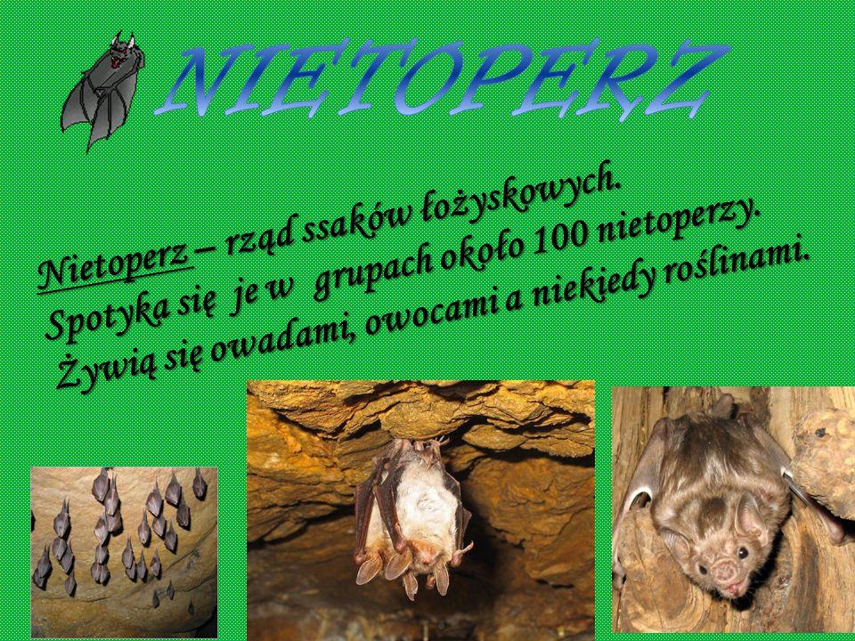 NIETOPERZ Nietoperz – rząd ssaków łożyskowych. Spotyka się je w grupach około 100 nietoperzy.