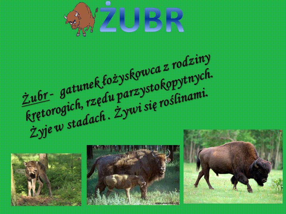 ŻUBR Żubr - gatunek łożyskowca z rodziny krętorogich, rzędu parzystokopytnych.