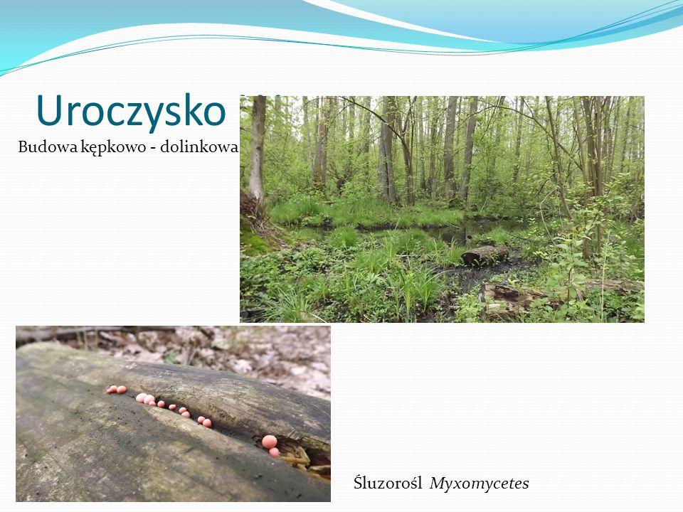Uroczysko Wrzosy Budowa kępkowo - dolinkowa Śluzorośl Myxomycetes