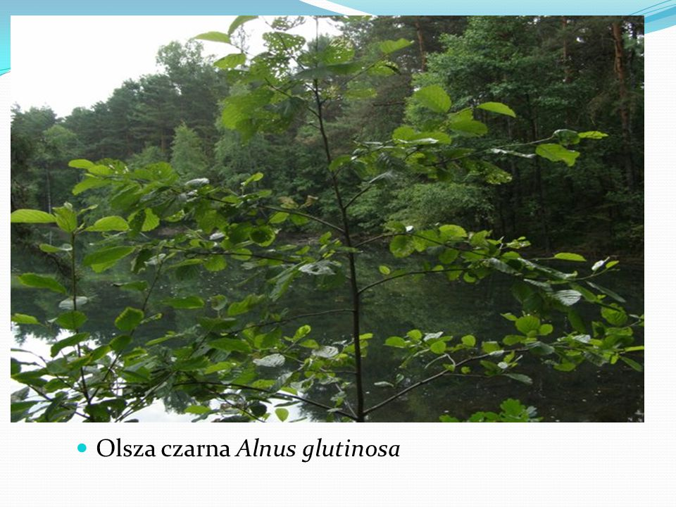 Olsza czarna Alnus glutinosa