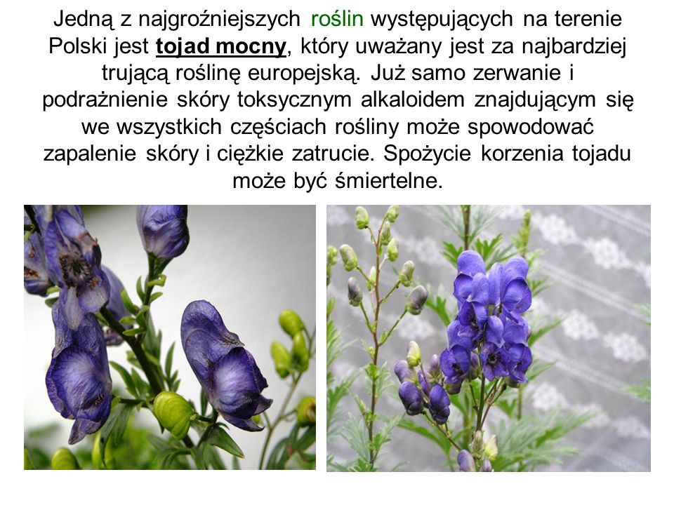Jedną z najgroźniejszych roślin występujących na terenie Polski jest tojad mocny, który uważany jest za najbardziej trującą roślinę europejską.