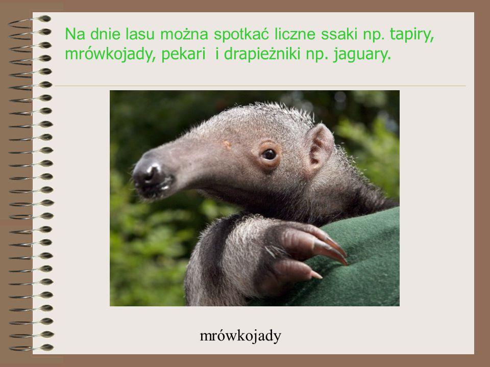Na dnie lasu można spotkać liczne ssaki np