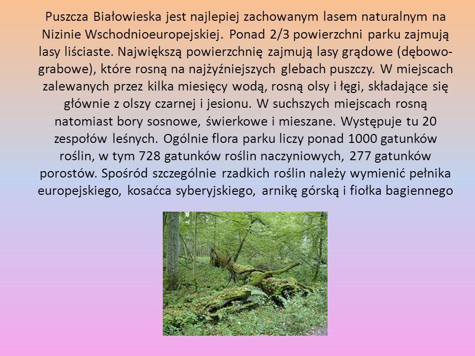 Puszcza Białowieska jest najlepiej zachowanym lasem naturalnym na Nizinie Wschodnioeuropejskiej.