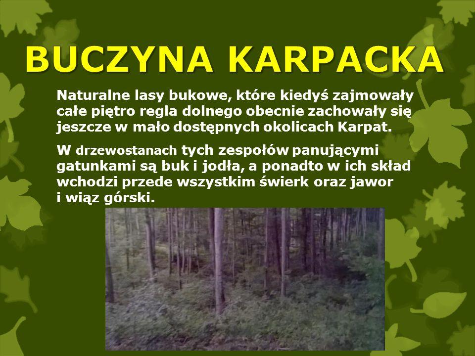 BUCZYNA KARPACKA