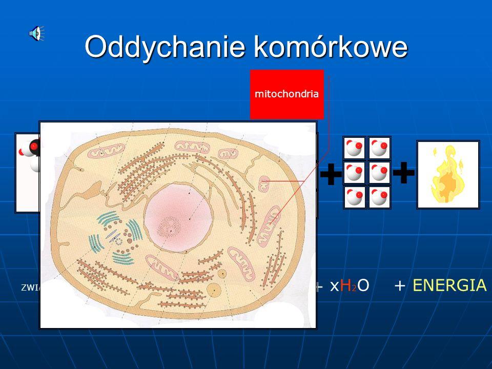 Oddychanie komórkowe xO2 xCO2 + xH2O + ENERGIA mitochondria