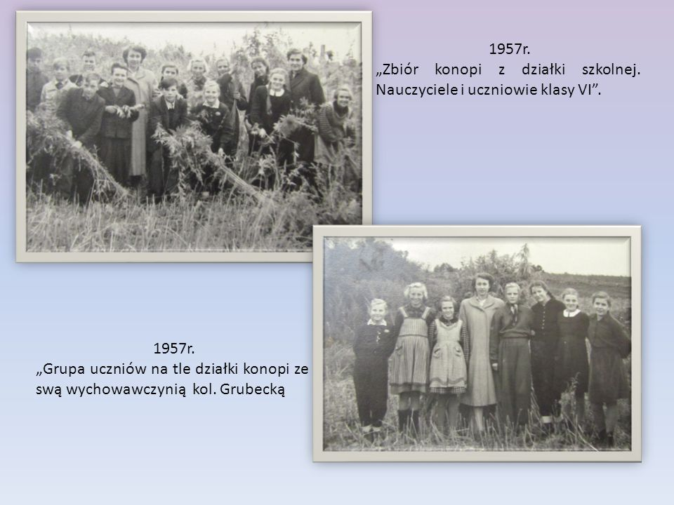 """1957r. """"Zbiór konopi z działki szkolnej. Nauczyciele i uczniowie klasy VI . 1957r."""