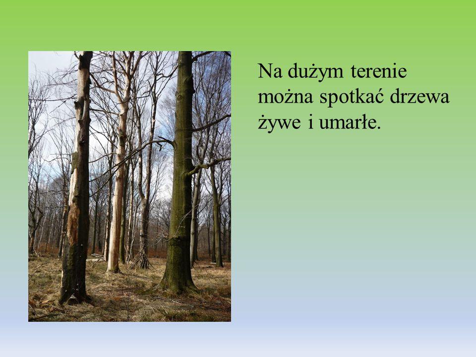 Na dużym terenie można spotkać drzewa żywe i umarłe.