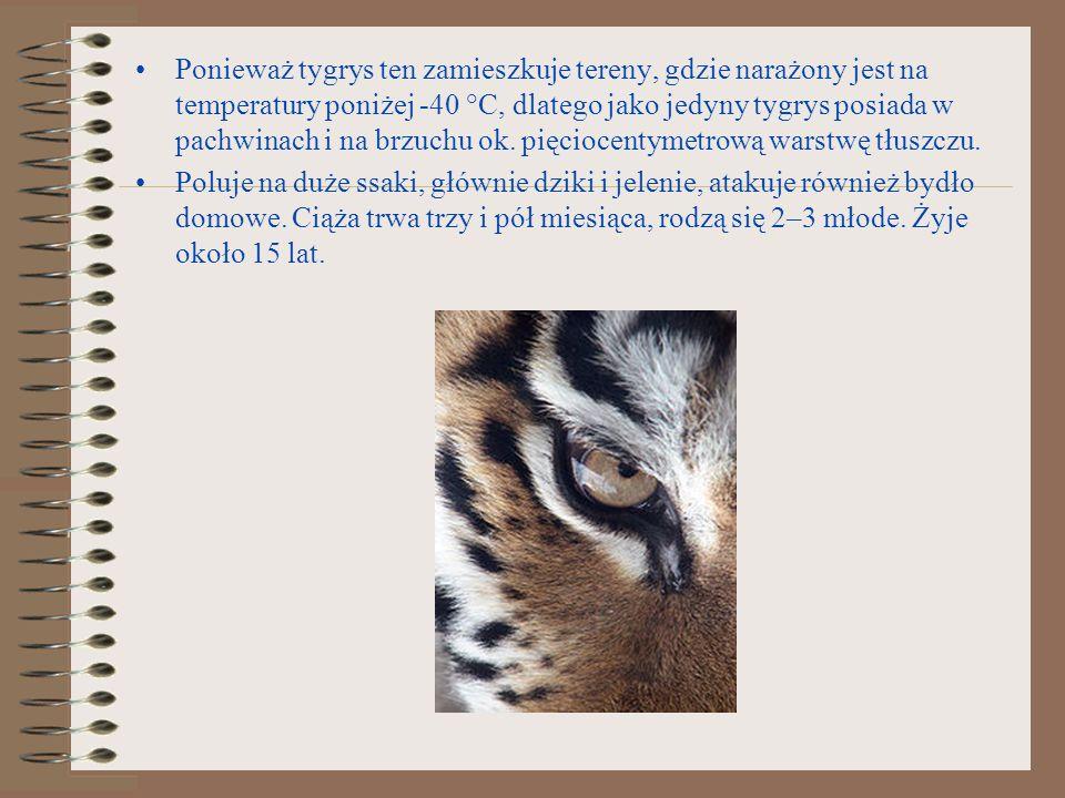 Ponieważ tygrys ten zamieszkuje tereny, gdzie narażony jest na temperatury poniżej -40 °C, dlatego jako jedyny tygrys posiada w pachwinach i na brzuchu ok. pięciocentymetrową warstwę tłuszczu.