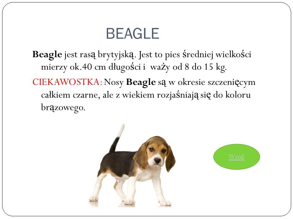 BEAGLE Beagle jest rasą brytyjską. Jest to pies średniej wielkości mierzy ok.40 cm długości i waży od 8 do 15 kg.