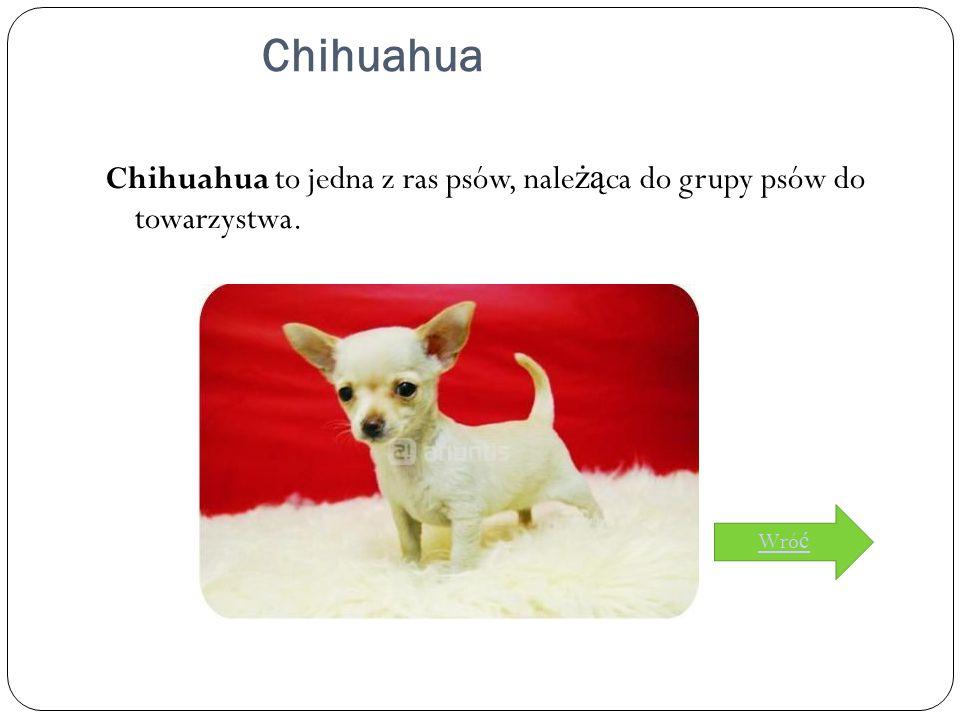 Chihuahua Chihuahua to jedna z ras psów, należąca do grupy psów do towarzystwa. Wróć