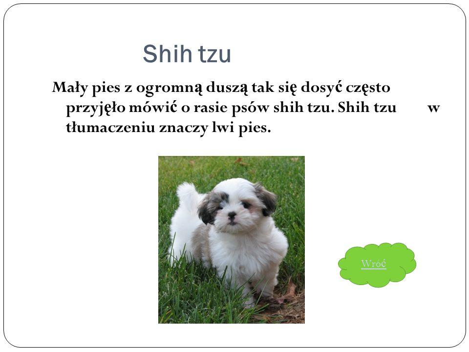 Shih tzu Mały pies z ogromną duszą tak się dosyć często przyjęło mówić o rasie psów shih tzu. Shih tzu w tłumaczeniu znaczy lwi pies.
