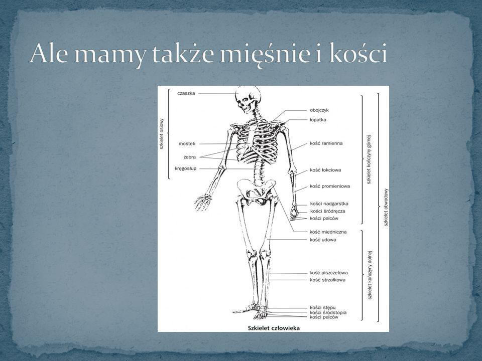 Ale mamy także mięśnie i kości