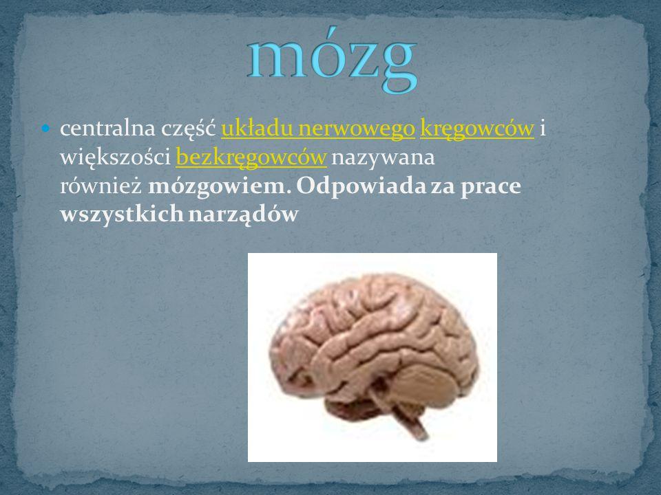 mózg centralna część układu nerwowego kręgowców i większości bezkręgowców nazywana również mózgowiem.