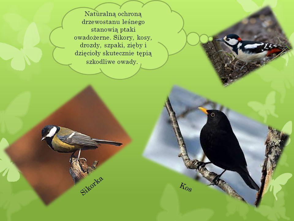 Naturalną ochroną drzewostanu leśnego stanowią ptaki owadożerne