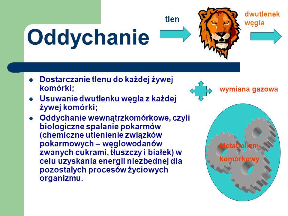 Oddychanie tlen Dostarczanie tlenu do każdej żywej komórki;