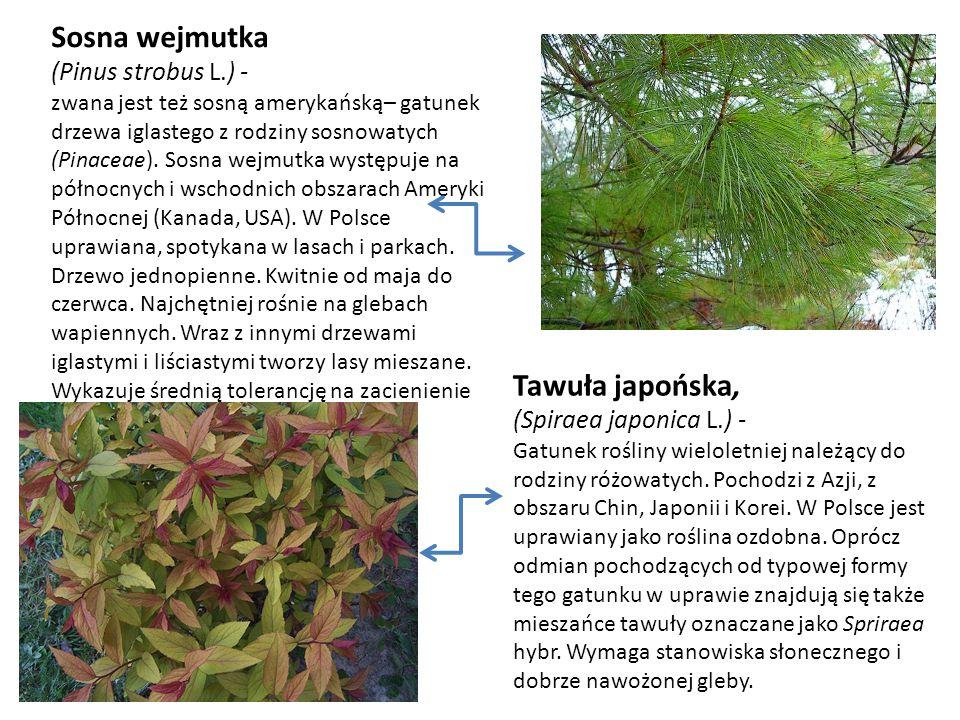 Tawuła japońska, (Spiraea japonica L.) -