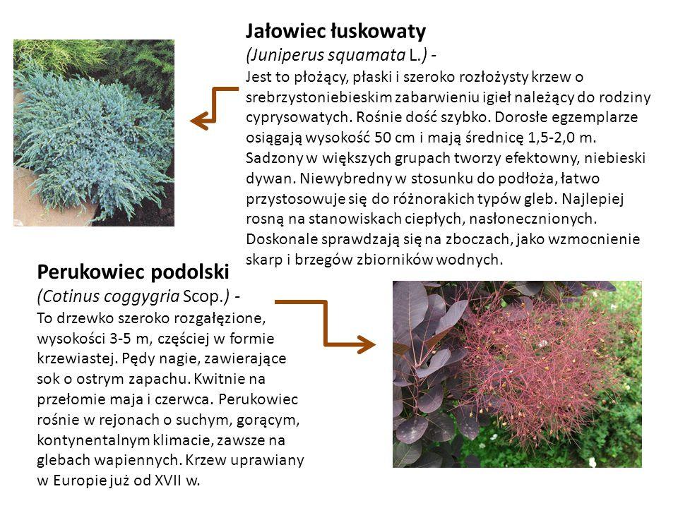 Jałowiec łuskowaty Perukowiec podolski (Juniperus squamata L.) -