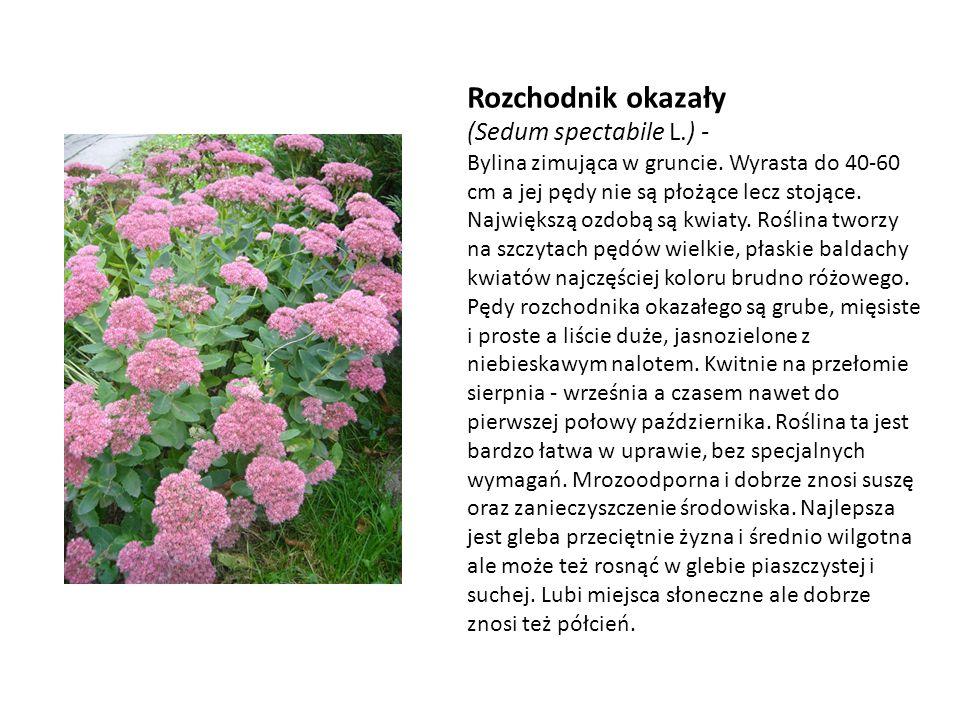 Rozchodnik okazały (Sedum spectabile L.) -