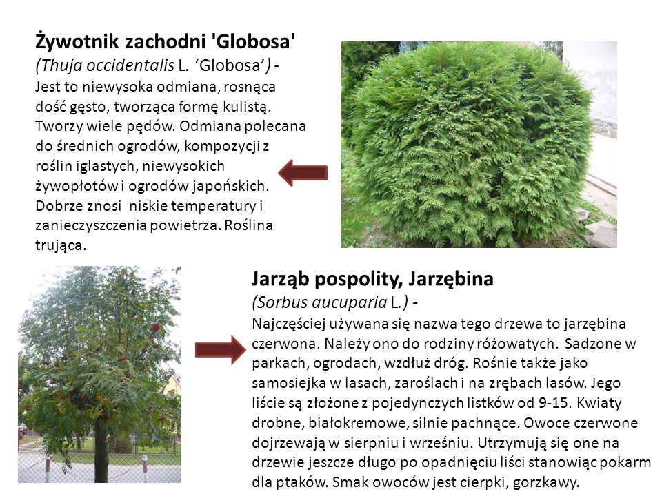 Żywotnik zachodni Globosa (Thuja occidentalis L. 'Globosa') -