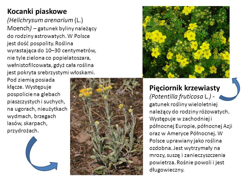 Pięciornik krzewiasty (Potentilla fruticosa L.) -