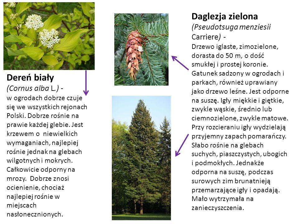 Daglezja zielona Dereń biały (Pseudotsuga menziesii Carriere) -
