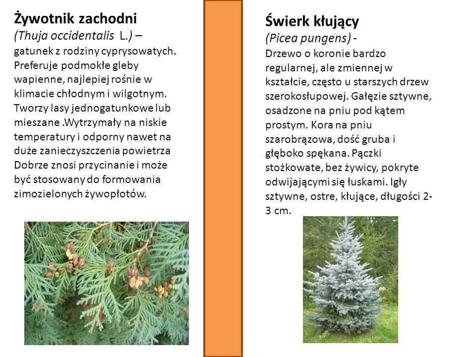 Żywotnik zachodni Świerk kłujący (Thuja occidentalis L.) –