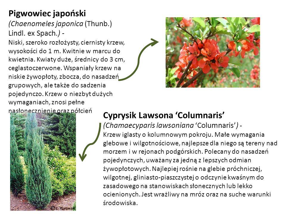 Pigwowiec japoński (Chaenomeles japonica (Thunb.) Lindl. ex Spach.) -