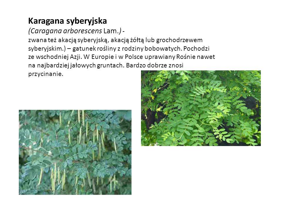 Karagana syberyjska (Caragana arborescens Lam.) -
