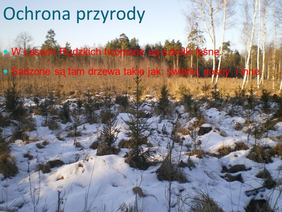 Ochrona przyrody W Lasach Rudzkich tworzone są szkółki leśne.