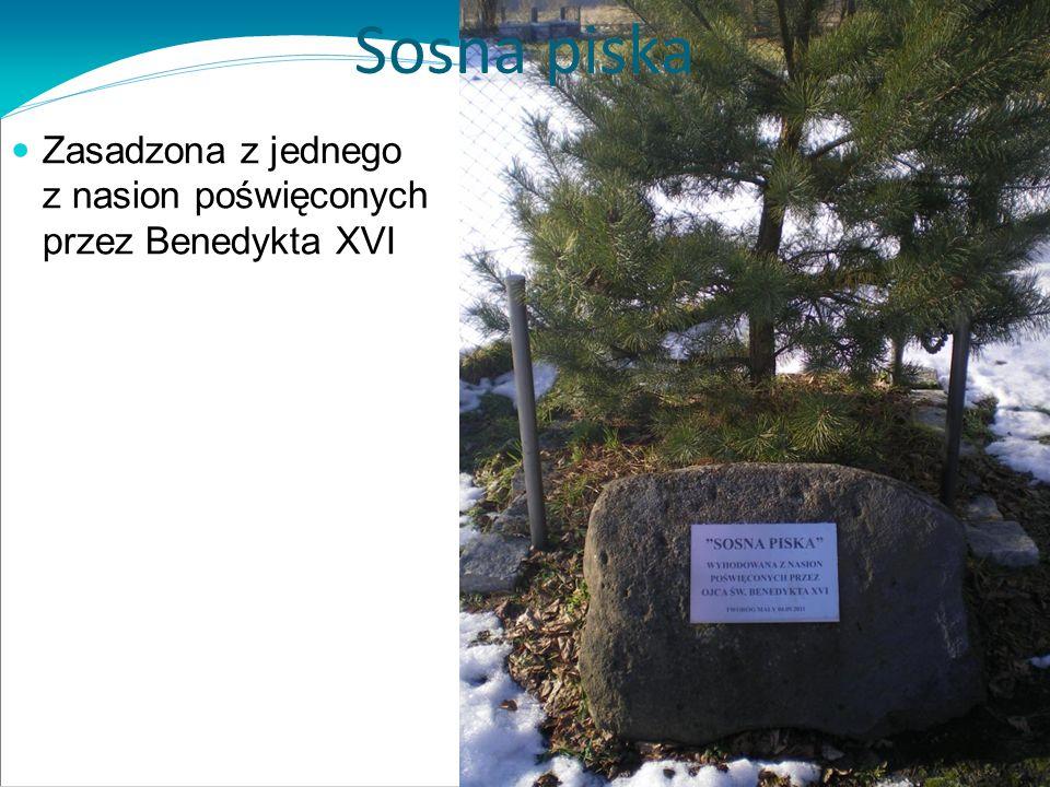 Sosna piska Zasadzona z jednego z nasion poświęconych przez Benedykta XVI
