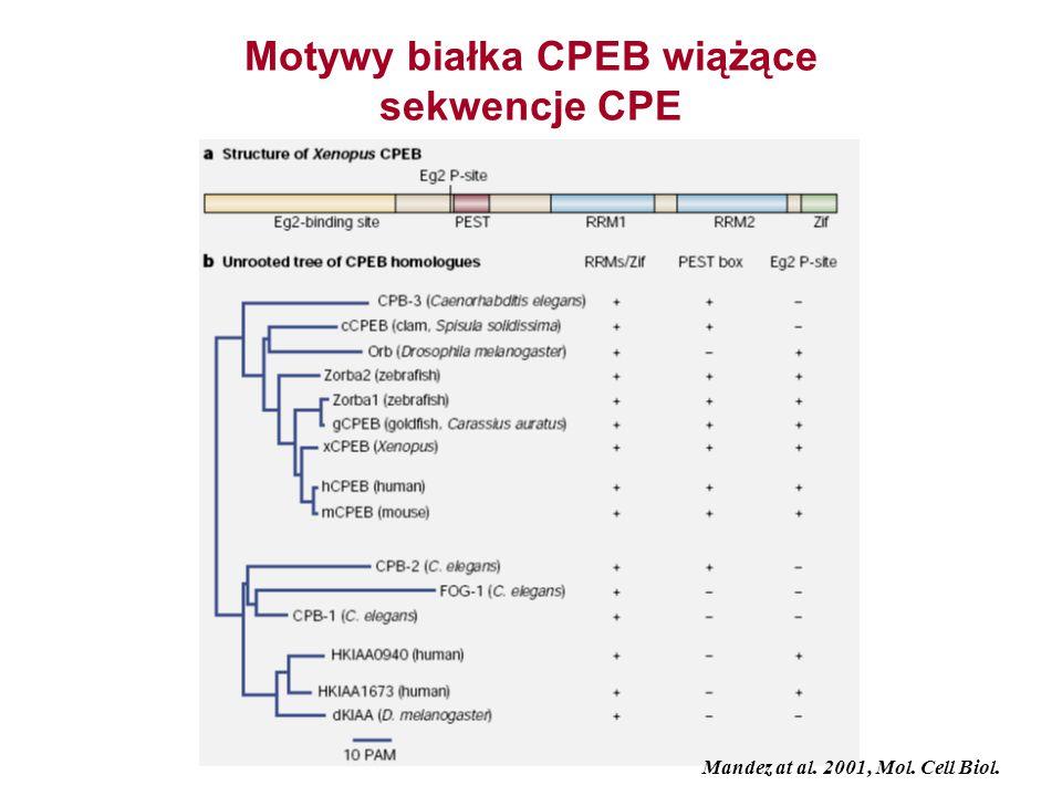 Motywy białka CPEB wiążące sekwencje CPE