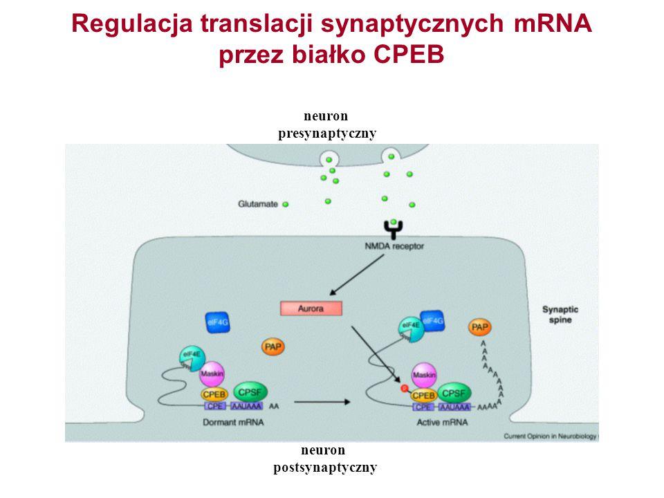 Regulacja translacji synaptycznych mRNA przez białko CPEB