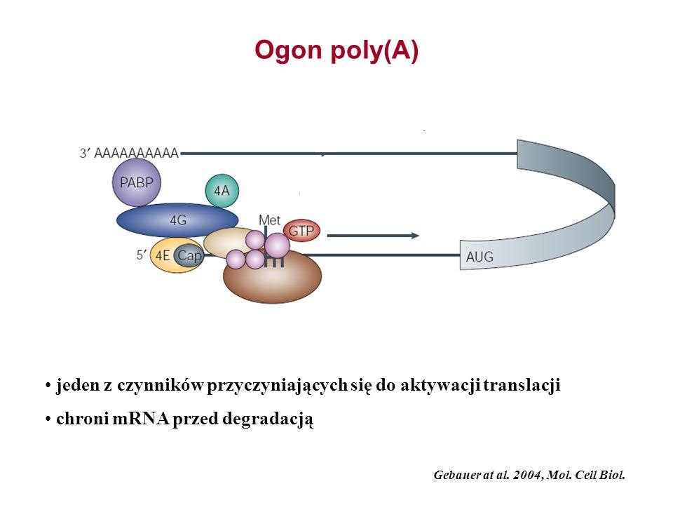 Ogon poly(A) jeden z czynników przyczyniających się do aktywacji translacji. chroni mRNA przed degradacją.